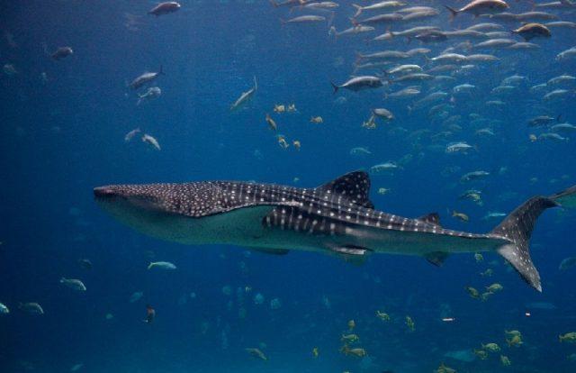 Gambar Nama Nama Ikan Laut Dan Gambarnya Hiu paus, cucut geger-lintang (Rhincodon typus)