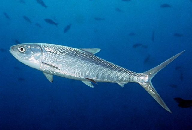 Nama Nama Ikan Laut Dan Gambarnya Ikan Bandeng