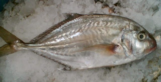 Gambar Nama Nama Ikan Laut Dan Gambarnya Ikan Kuwe ( Caranx ignobilis )