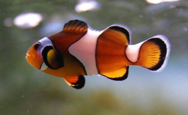 Gambar Nama Nama Ikan Laut Dan Gambarnya Ikan giru, Clownfish