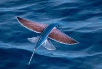Gambar Nama Nama Ikan Laut Dan Gambarnya Ikan terbang ( Exocoetidae )