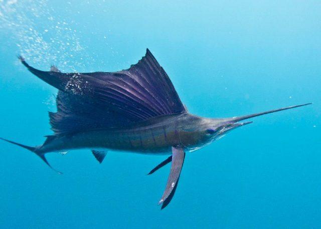 Gambar Nama Nama Ikan Laut Dan Gambarnya Jangilus, layaran indo-pasifik (Istiophorus platypterus)