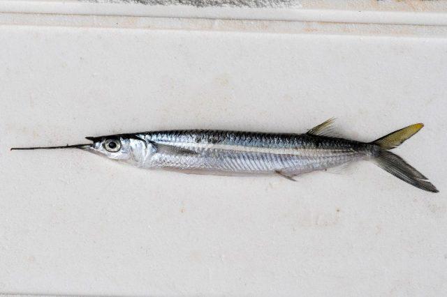 Ikan Julung Julung