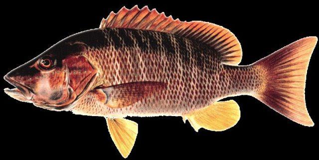 Gambar Nama Nama Ikan Laut Dan Gambarnya Kakap Anjing ( Dog Snapper )