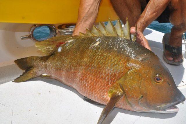 Gambar Nama Nama Ikan Laut Dan Gambarnya Kakap Barred Snapper
