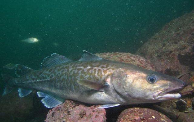 Gambar Nama Nama Ikan Laut Dan Gambarnya Kod pasifik (Gadus macrocephalus)