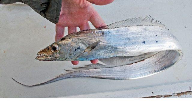 Gambar Nama Nama Ikan Laut Dan Gambarnya Layur (Trichiurus lepturus)