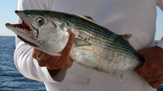Gambar Nama Nama Ikan Laut Dan Gambarnya Makerel