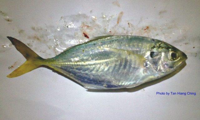 Gambar Nama Nama Ikan Laut Dan Gambarnya Selar batang (Alepes kleinii)