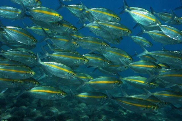Gambar Nama Nama Ikan Laut Dan Gambarnya Selar kuning (Selaroides leptolepis)