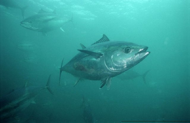 Gambar Nama Nama Ikan Laut Dan Gambarnya Tatihu (Thunnus maccoyii)