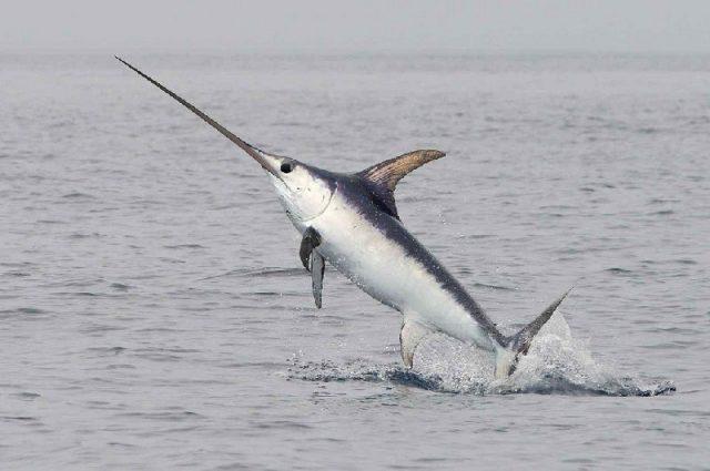 Gambar Nama Nama Ikan Laut Dan Gambarnya Todak, ikan pedang (Xiphias gladius)