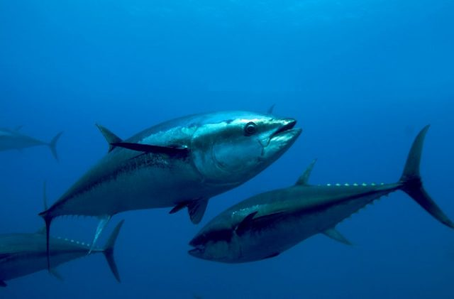 Gambar Nama Nama Ikan Laut Dan Gambarnya Tuna sirip-biru (Thunnus thynnus)