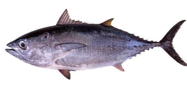 Gambar Nama Nama Ikan Laut Dan Gambarnya Tuna sirip biru pasifik