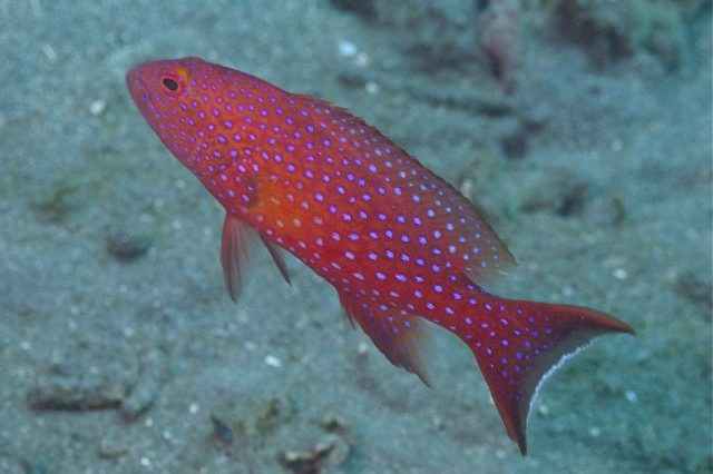Gambar Nama Nama Ikan Laut Dan Gambarnya kerapu merah (Plectropomus leopardus)