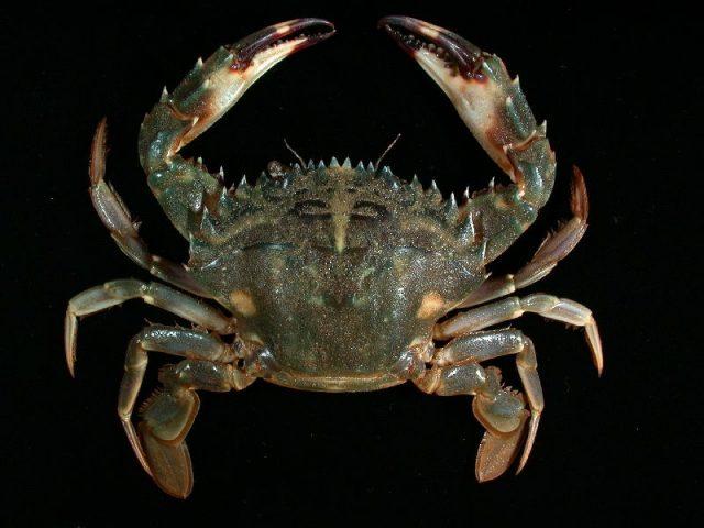 Gambar Jenis Jenis Kepiting Paling Lengkap Asian paddle crab ( Charybdis japonica )