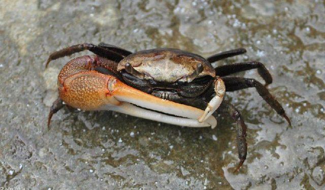Gambar Jenis Jenis Kepiting Paling Lengkap Atlantic marsh fiddler crab ( Uca pugnax )