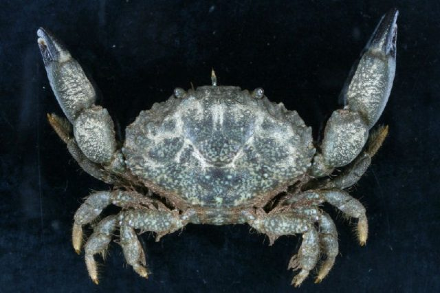 Gambar Jenis Jenis Kepiting Paling Lengkap Leptodius sanguineus