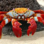 Gambar Jenis Jenis Kepiting Paling Lengkap Sally Lightfoot crab ( Grapsus grapsus )