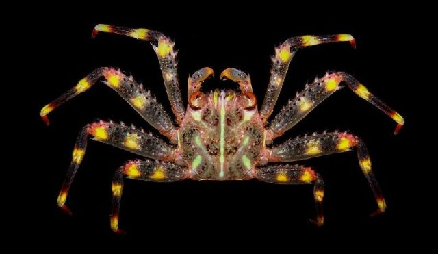 Gambar Jenis Jenis Kepiting Paling Lengkap Sally Lightfoot crab ( Percnon gibbesi )