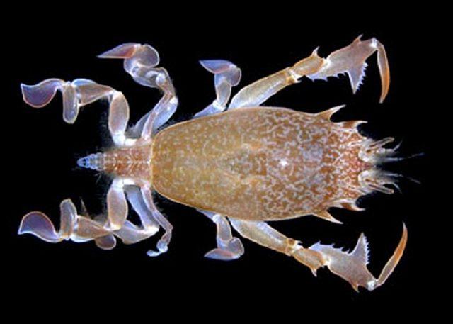 Gambar Jenis Jenis Kepiting Paling Lengkap bionic crab Raninoides sp