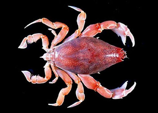 Gambar Jenis Jenis Kepiting Paling Lengkap three teeth Pipa crab Lyreidus tridentatus