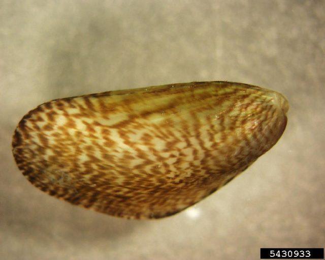 Gambar Jenis Jenis Kerang Paling Lengkap Mytella charruana