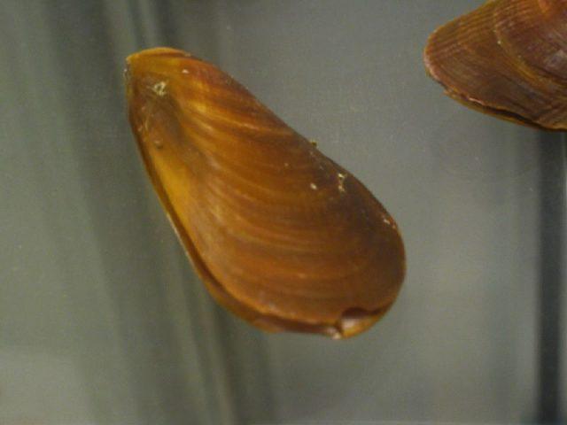 Gambar Jenis Jenis Kerang Paling Lengkap Mytilus chilensis