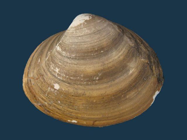Gambar Jenis Jenis Kerang Paling Lengkap Spisula sachalinensis