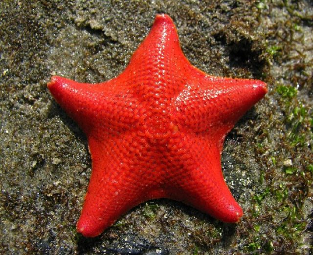 Gambar Nama Latin Bintang Laut - Bat sea star