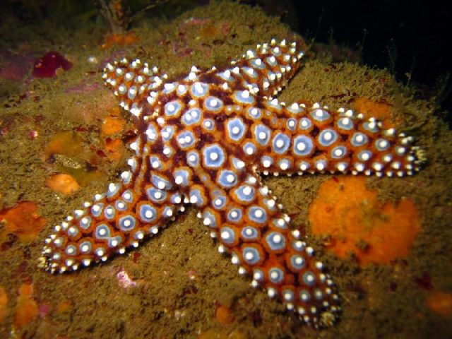 Gambar Nama Latin Bintang Laut - Giant spined star