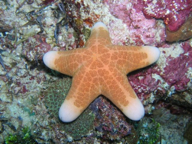 Gambar Nama Latin Bintang Laut - Granulated sea star