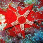 Gambar Nama Latin Bintang Laut - Necklace Starfish