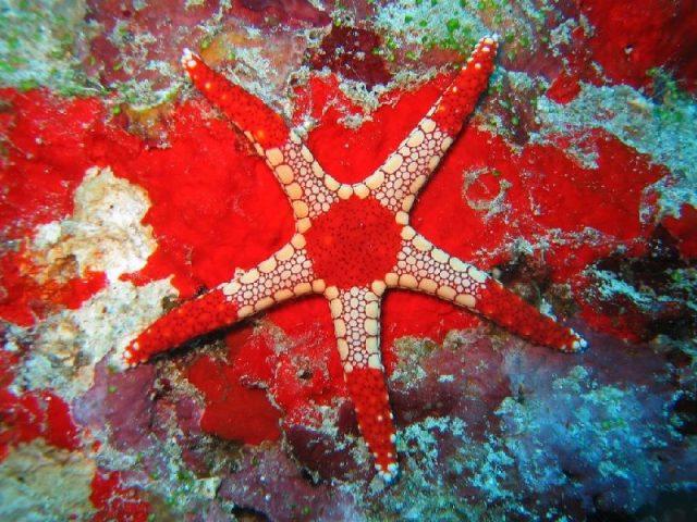 Gambar Nama Latin Bintang Laut - Necklace Starfish