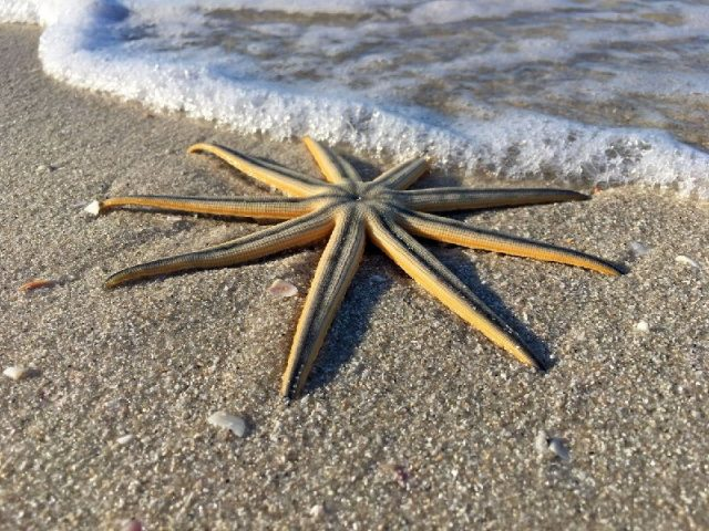 Gambar Nama Latin Bintang Laut - Nine-armed Sea Star