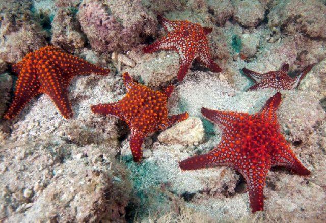 Gambar Nama Latin Bintang Laut - Panamic cushion star