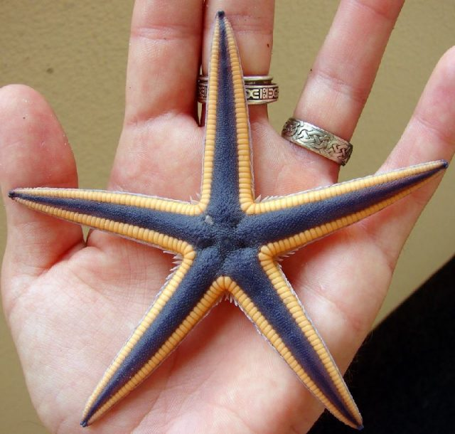 Gambar Nama Latin Bintang Laut - Royal starfish