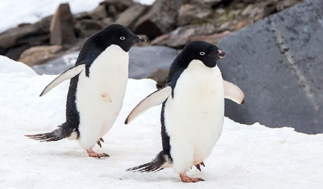 Gambar Adelie Penguin Nama Nama Hewan Dari A Sampai Z Yang Dimulai Dari Huruf A