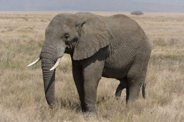 Gambar African Bush Elephant Nama Nama Hewan Dari A Sampai Z Yang Dimulai Dari Huruf A