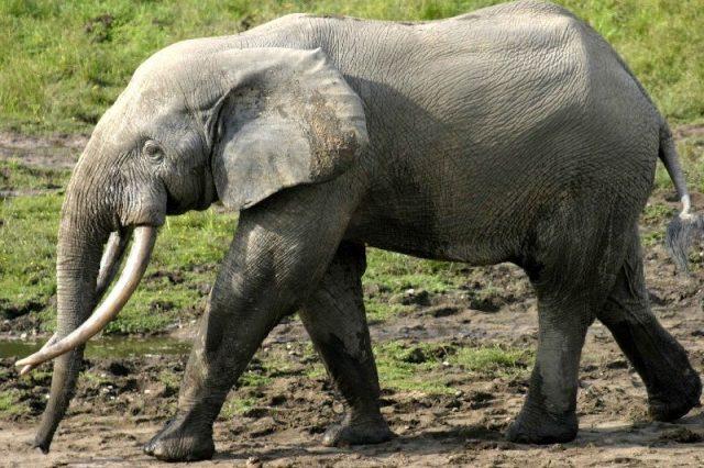 Gambar African Forest Elephant Nama Nama Hewan Dari A Sampai Z Yang Dimulai Dari Huruf A