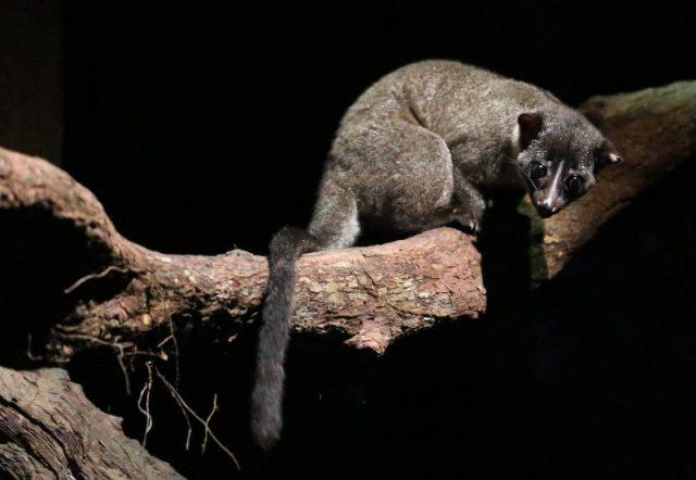Gambar African Palm Civet Nama Nama Hewan Dari A Sampai Z Yang Dimulai Dari Huruf A