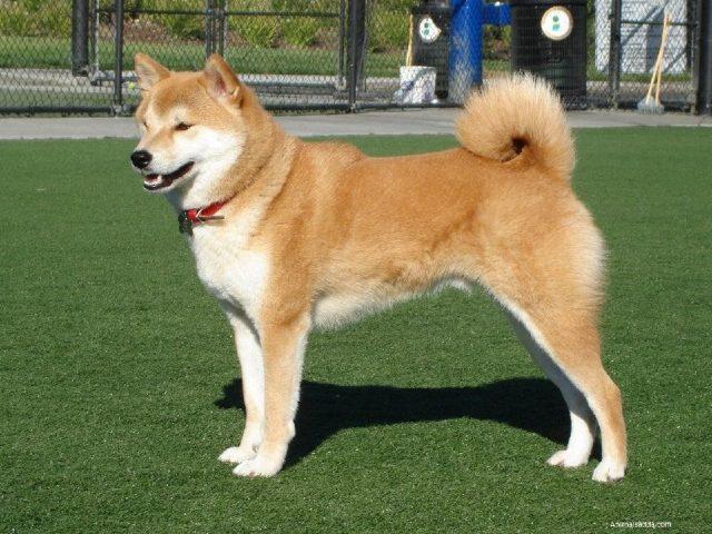 Gambar Ainu Dog Nama Nama Hewan Dari A Sampai Z Yang Dimulai Dari Huruf A