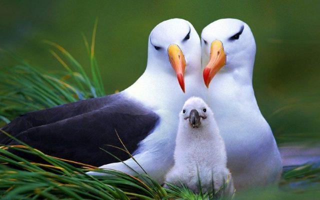 Gambar Albatross Nama Nama Hewan Dari A Sampai Z Yang Dimulai Dari Huruf A