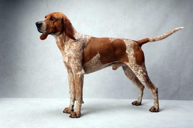 Gambar American Coonhound Nama Nama Hewan Dari A Sampai Z Yang Dimulai Dari Huruf A