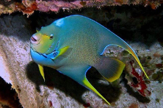 Gambar Angelfish Nama Nama Hewan Dari A Sampai Z Yang Dimulai Dari Huruf A
