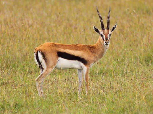 Gambar Antelope Nama Nama Hewan Dari A Sampai Z Yang Dimulai Dari Huruf A
