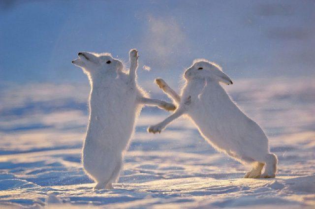Gambar Arctic Hare Nama Nama Hewan Dari A Sampai Z Yang Dimulai Dari Huruf A