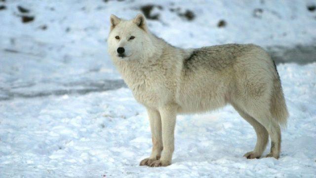 Gambar Arctic Wolf Nama Nama Hewan Dari A Sampai Z Yang Dimulai Dari Huruf A
