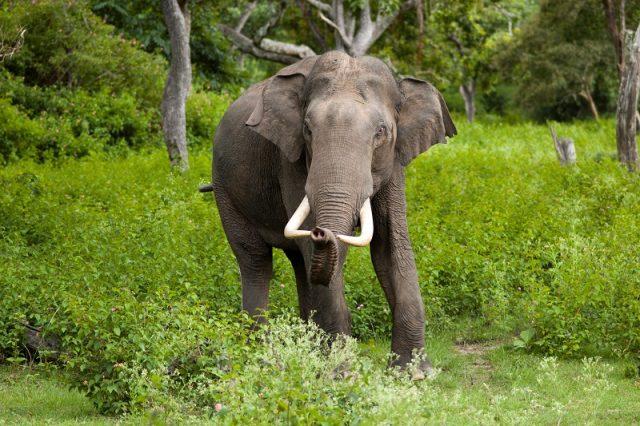 Gambar Asian Elephant Nama Nama Hewan Dari A Sampai Z Yang Dimulai Dari Huruf A