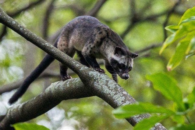 Gambar Asian Palm Civet Nama Nama Hewan Dari A Sampai Z Yang Dimulai Dari Huruf A